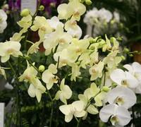 Phalaenopsis_Brother_Dream_(2)<br>