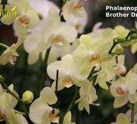Phalaenopsis_Brother_Dream<br>