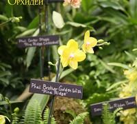 Phalaenopsis_Brother_Golden_Wish_Pine_Ridge<br>