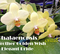 Phalaenopsis_Brother_Golden_Wish_x_Elegant_Bride<br>