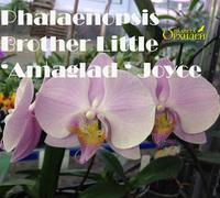 Phalaenopsis_Brother_Little_'Amaglad'_Joyce<br>