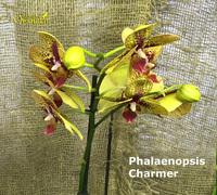 Phalaenopsis_Charmer<br>