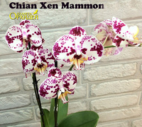 Phalaenopsis_Chian_Xen_Mammon<br>