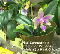 Phalaenopsis_Cornustris_(2)<br>