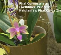 Phalaenopsis_Cornustris<br>