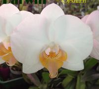 Phalaenopsis_Darwin<br>