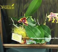Phalaenopsis_Diamond_Beauty<br>