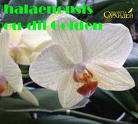 Phalaenopsis_Dou-dii_Golden<br>