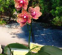 Phalaenopsis_Dou_dii_Rose<br>
