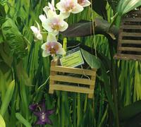 Phalaenopsis_Dragon_Tree_Sara_Beauty_'Peloric'<br>