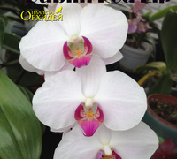 Phalaenopsis_Dublin_Red_Lip_(2)<br>