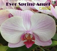 Phalaenopsis_Ever_Spring_Angel<br>