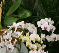 Phalaenopsis_Ever_Spring_Light_(2)<br>