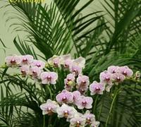 Phalaenopsis_Ever_Spring_Light<br>
