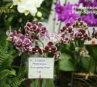 Phalaenopsis_Ever_Spring_Pearl_(2)<br>