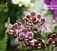 Phalaenopsis_Ever_Spring_Pearl<br>