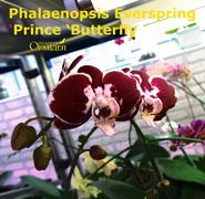 Phalaenopsis_Ever_Spring<br>