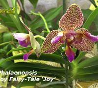 Phalaenopsis_Fairy_Tale_Joy<br>