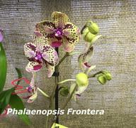 Phalaenopsis_Frontera<br>