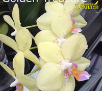 Phalaenopsis_Golden_Treasure<br>
