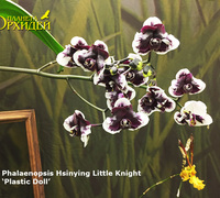 Phalaenopsis_Hsinying_Little_Knight_'Plastic_Doll'_<br>