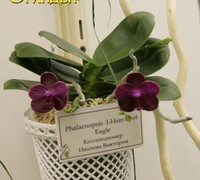 Phalaenopsis_I-Hsin_Spot_Eagle_(2)<br>