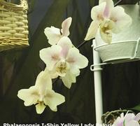 Phalaenopsis_I-Hsin_Yellow_Lady_'Peloric'<br>