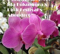 Phalaenopsis_Ida_Fukumura_x_Pink_Festival_x_Abendrot<br>