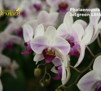 Phalaenopsis_Jetgreen_Little-Dog<br>