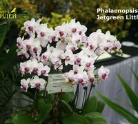 Phalaenopsis_Jetgreen_Little_Dog<br>