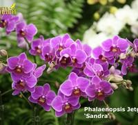 Phalaenopsis_Jetgreen_Sandra<br>