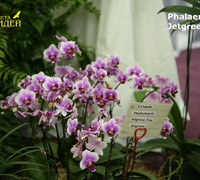 Phalaenopsis_Jetgreen_Trin<br>