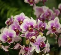 Phalaenopsis_Jetgreen_Tris<br>