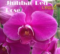 Phalaenopsis_Jiohbao_Red_Rose_<br>