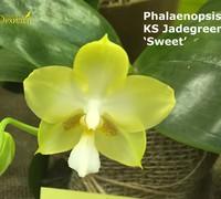 Phalaenopsis_KS_Jadegreen<br>