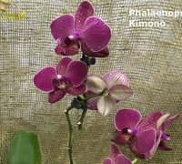 Phalaenopsis_Kimono<br>
