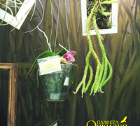 Phalaenopsis_LD_Mo_Chio<br>