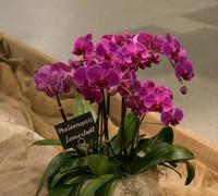 Phalaenopsis_Lennestadt<br>