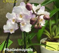Phalaenopsis_Lius_Sakura<br>