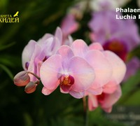 Phalaenopsis_Luchia_Pink<br>