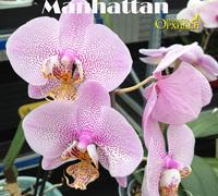 Phalaenopsis_Manhattan<br>