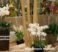 Phalaenopsis_Metropolitan_(2)<br>