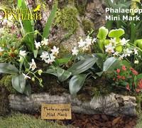 Phalaenopsis_Mini_Mark<br>