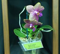 Phalaenopsis_Mituo_King<br>