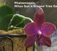 Phalaenopsis_Mituo_Sun<br>