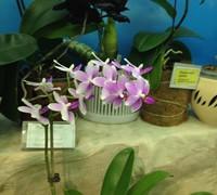 Phalaenopsis_Morning_Star<br>