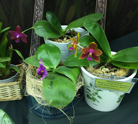 Phalaenopsis_Mutio_Coral_Mambonosa_x_Id's_Bear_Queen_Mituo<br>