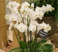 Phalaenopsis_Nagasaki<br>