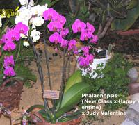 Phalaenopsis_New_Class_x_Happy_Valentine<br>