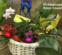 Phalaenopsis_Palm_Cost<br>
